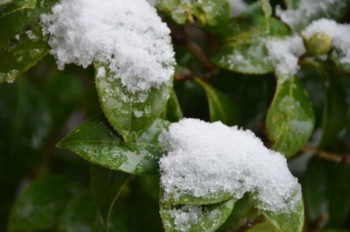 庭木の雪-3