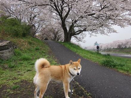 2013桜1