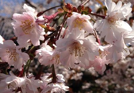 正福寺桜450