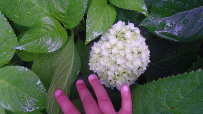 ajisai_20130520235727.jpg