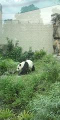 【台北】動物園のパンダ。以外に軽快に動いて遊んでました