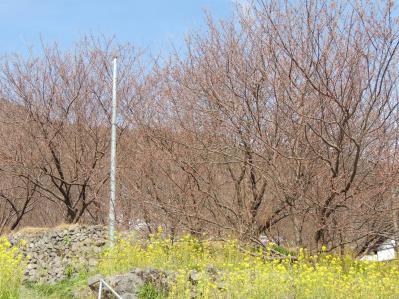 雪割桜1202074
