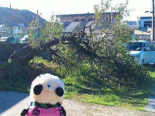 梅の老木が台風で折れた