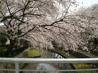 2012年春、待望の桜満開