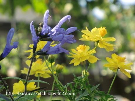 黄花コスモスとメド―セージ2