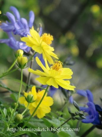黄花コスモスとメド―セージ3