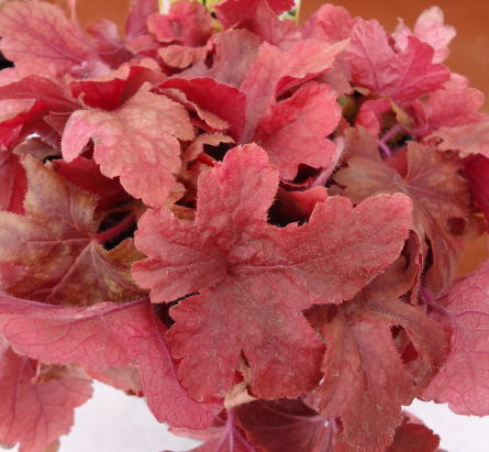 アラバマサンライズ 紅葉