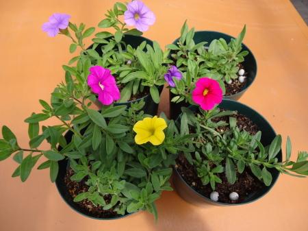 ラブリカ 開花
