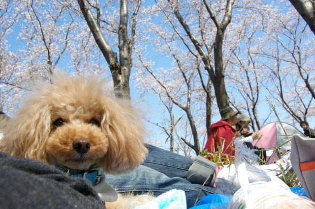 横浜お花見 064