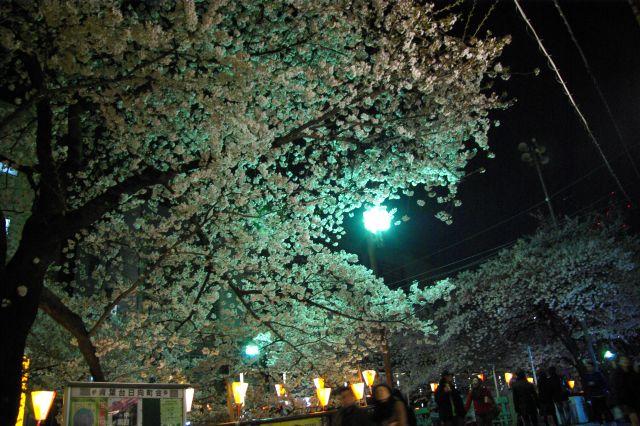 横浜お花見 720