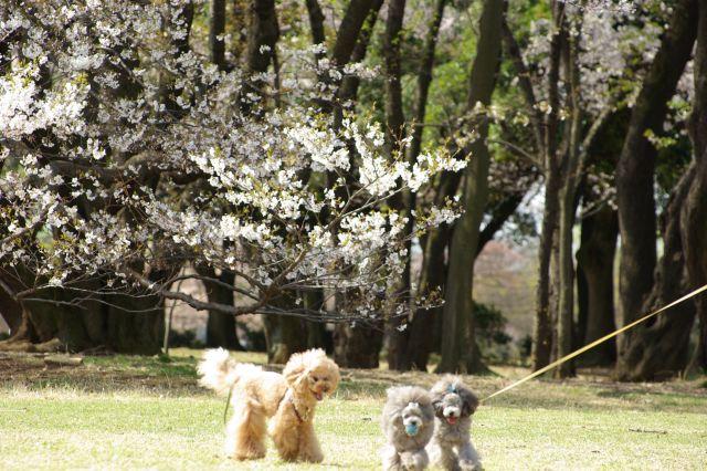 桜runrun 259