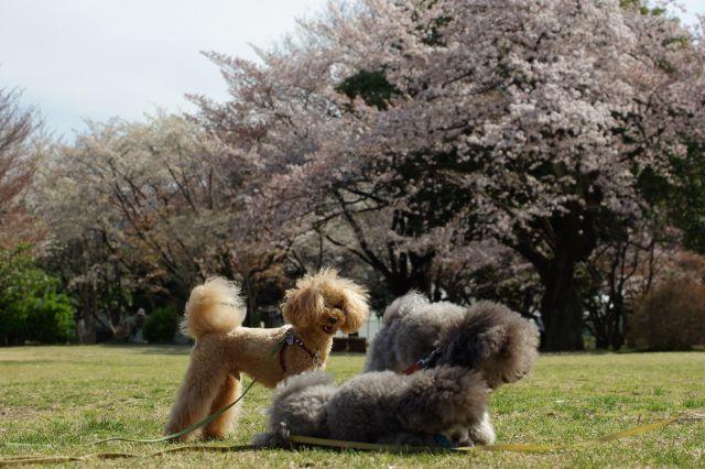 桜runrun 239