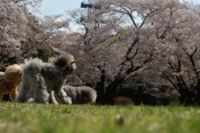 桜runrun 223