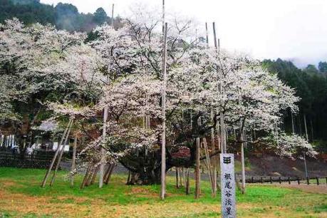 淡墨色に変化しつつある淡墨桜4.21
