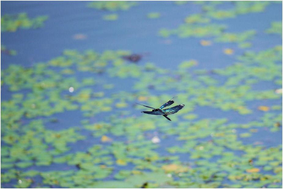 チョウトンボの飛翔