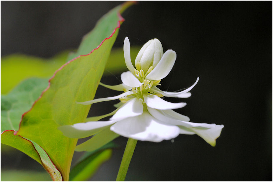 八重咲きドクダミの花