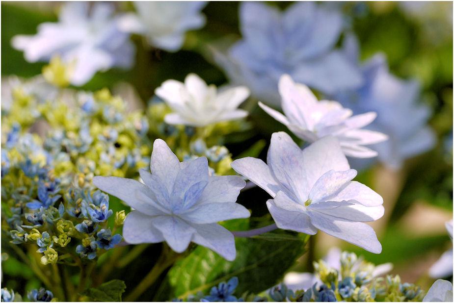 スミダノハナビ装飾花