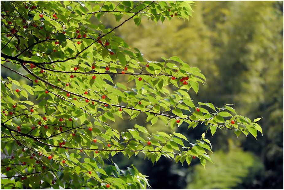 ヒメコウゾの木