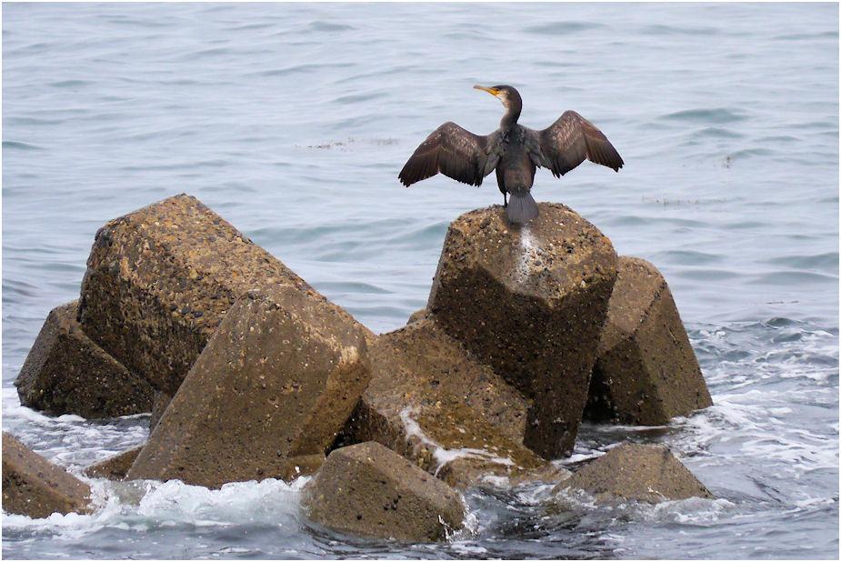 のんびり海鵜