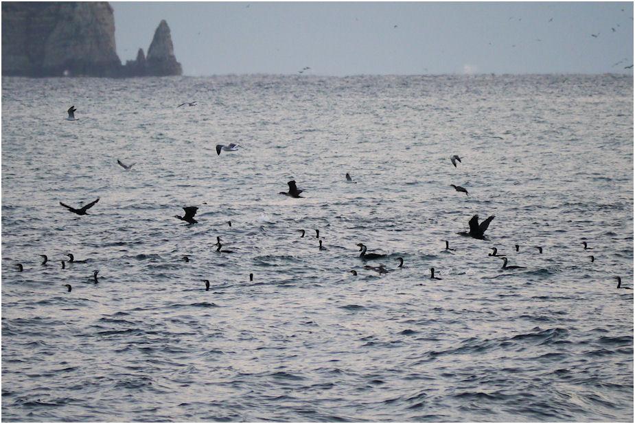 海上の海鵜