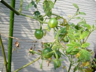 0915 プチトマト 2