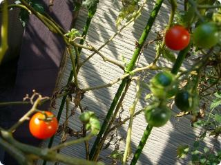0930 プチトマト