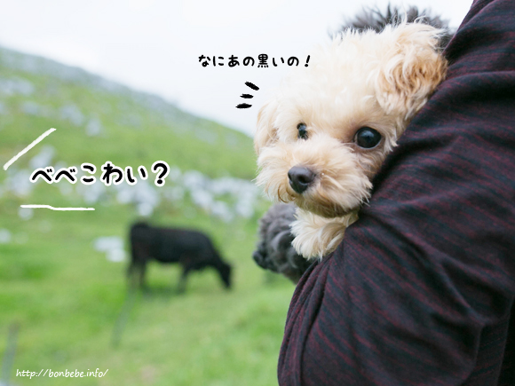 トイプードル 牛
