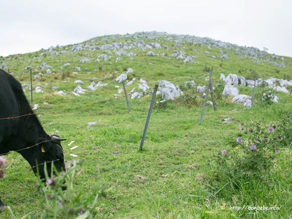 四国カルスト 牛