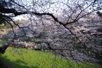 南側内堀桜