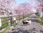 薬師川のしだれ桜