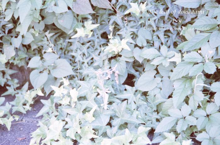 The leaf of dokudami
