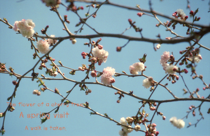 The flower of a cherry tree 3