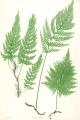 320px-Trichomanes_speciosum_Moore48[1]