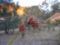 800px-Themeda_triandra_-_kangaroo_grass[1]