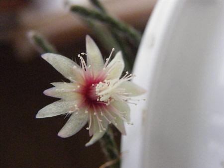 リプサリスの花