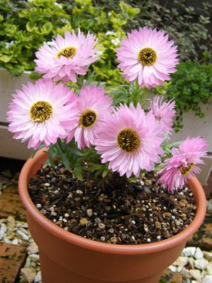 花かんざしピンク