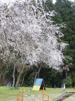 スクール桜