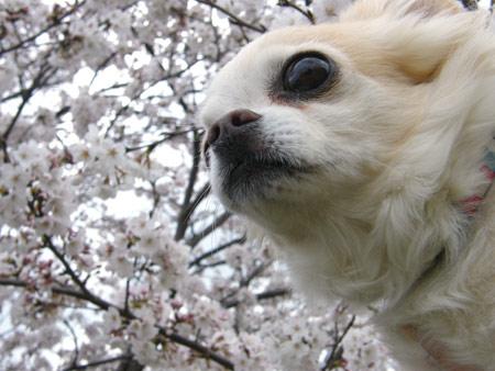 むーたんと桜