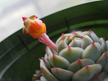 デレンベルギー開花