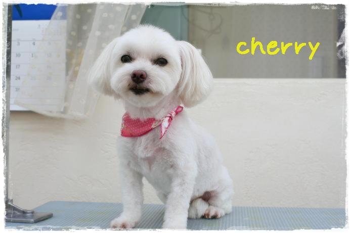 cherry阿部