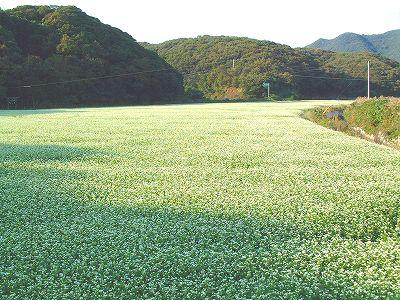 対馬市美津島の対州そば畑