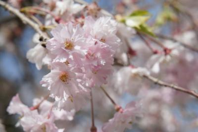 枝垂桜も儚げで綺麗でちね