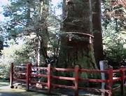 箱根神社3 矢立の杉