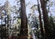 箱根神社4 矢立の杉