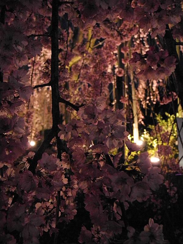 枝垂桜をアップで
