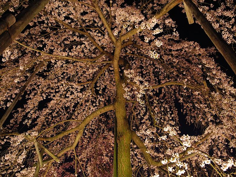 降り注ぐ桜たち