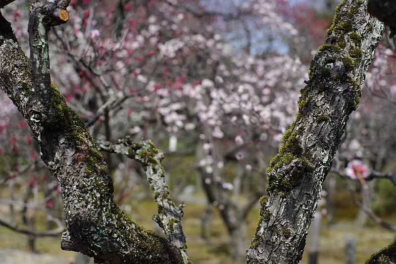 梅の古木の間から