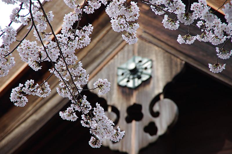 軒先にかかる桜