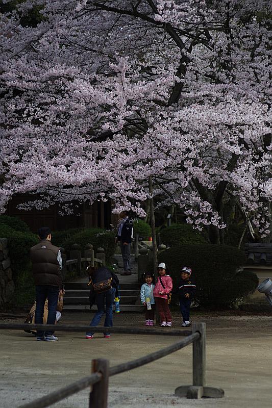 桜と記念撮影の家族たち