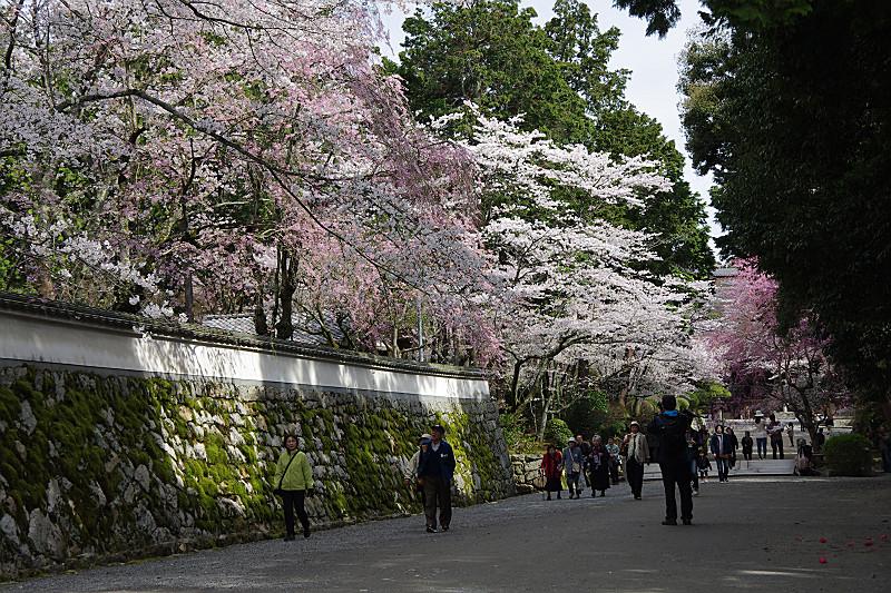 桜色も様々